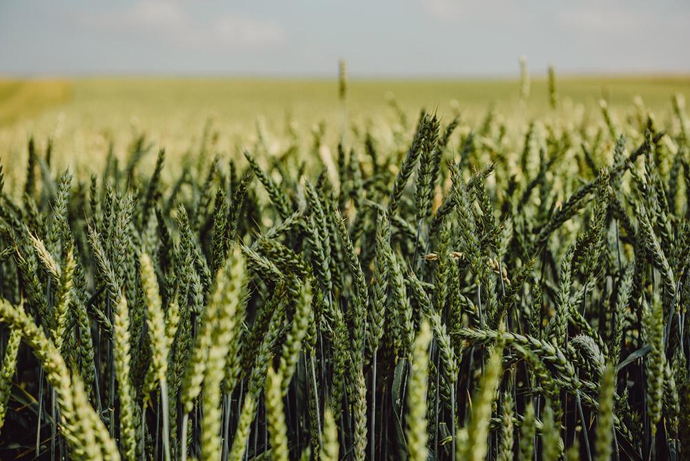 Ferma Gărdoiu – cultura de cereale