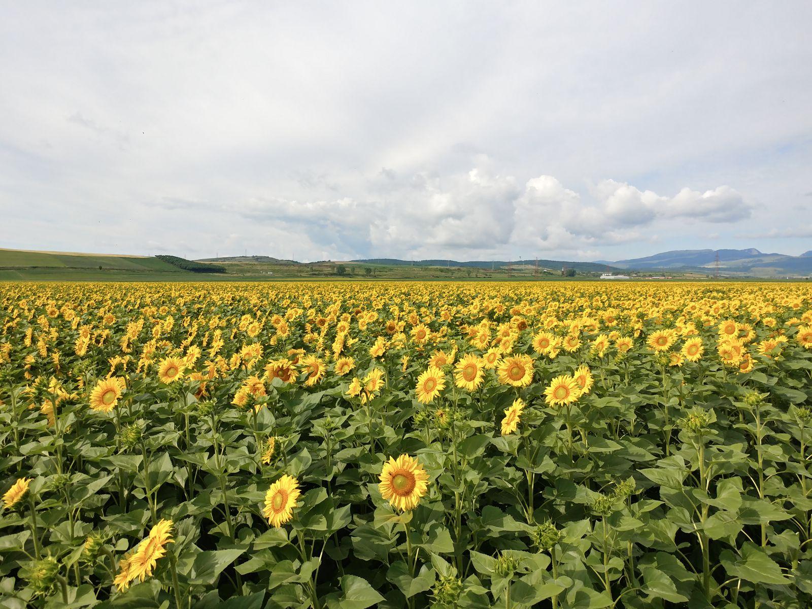 Ferma Agro Turdean – floarea soarelui