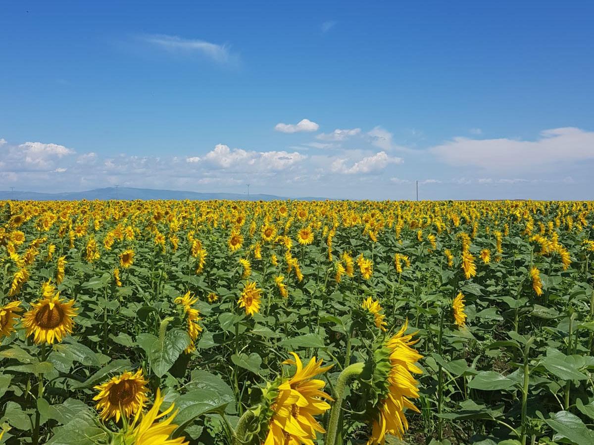 Ferma Glia Prest Simion – floarea soarelui și porumb