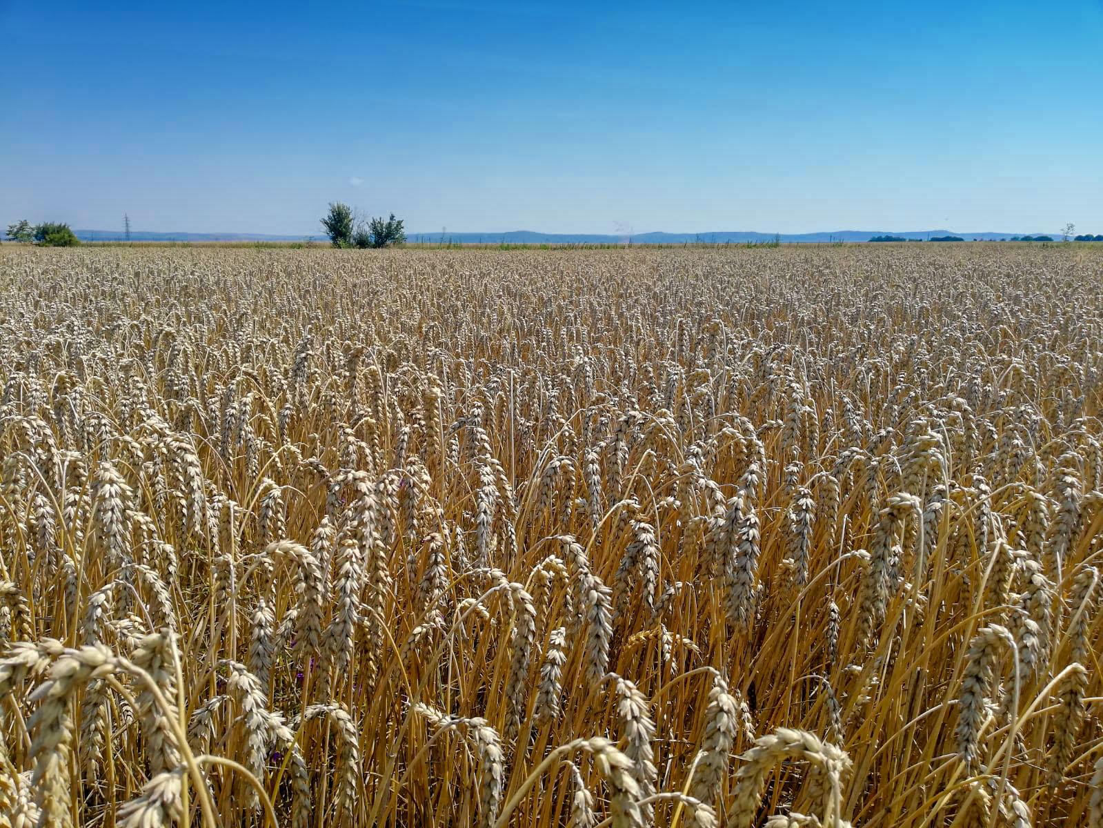 Ferma Agro Turdean – grâu